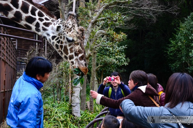 Girafe et japonais - Zoo de Matsuyama - Japon