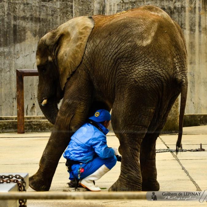 Elephanteau et son soigneur - confiant ! - Zoo de Matsuyama - Japon - photos zoo Japon