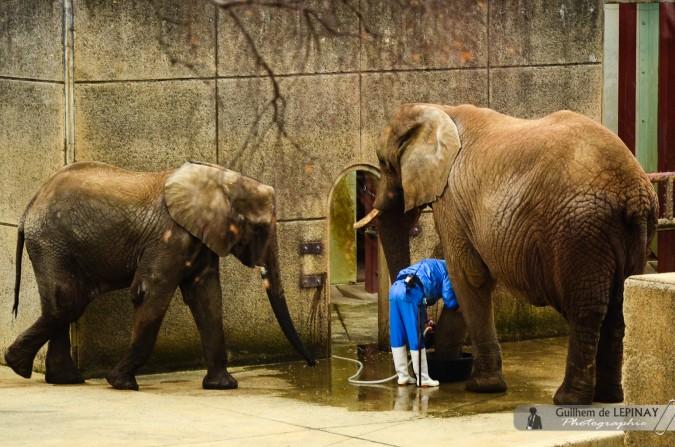 Deux des trois éléphants et leur soigneur - Zoo de Matsuyama - Japon - photos zoo Japon