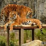 Tigres - Zoo de Matsuyama - Japon