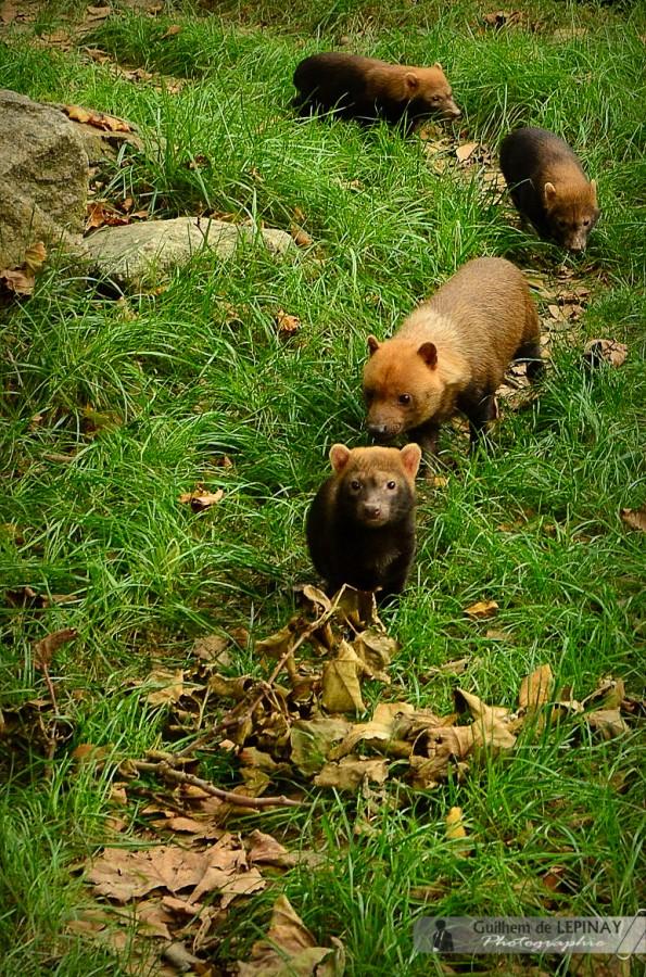 La portée des chiens des buissons du zoo de Mulhouse - photos zoo mulhouse