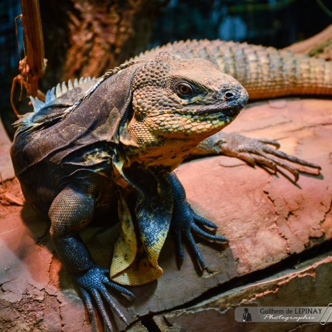 Große Echse - Zoologischer Garten in Wien - Österreich - Zoo Vienna Fotos