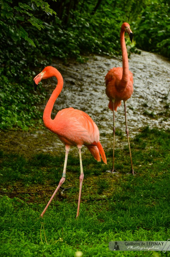 Flamand Rouge  - Zoologischer Garten in Wien - Österreich