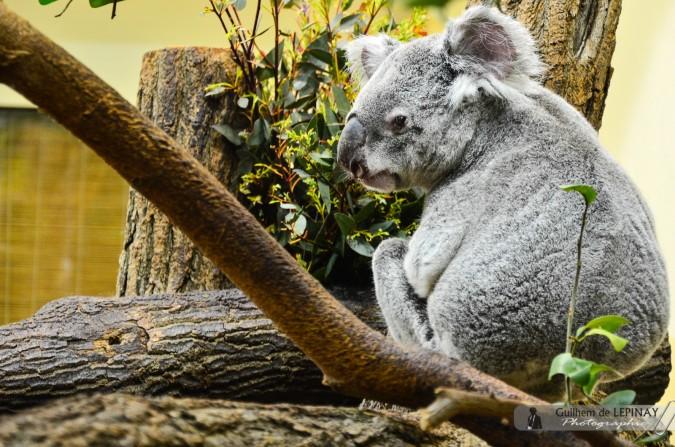 Koala  - Zoologischer Garten in Wien - Österreich - Zoo Vienna Fotos