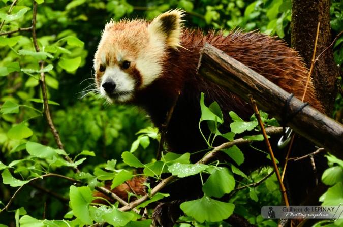 Panda roux  - Zoologischer Garten in Wien - Österreich - Zoo Vienna Fotos