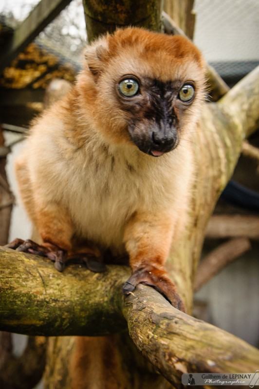 Can the turquoise eyes lemur