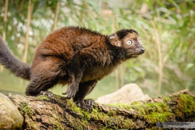 Lemurien-Dimbi-photographe-Guilhem-de-Lepinay-12