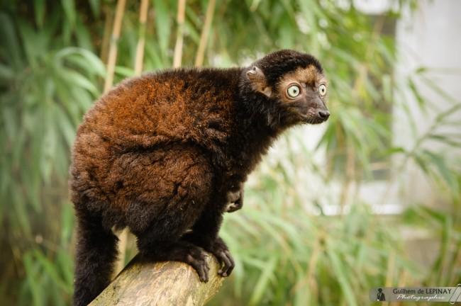 Lemurien-Dimbi-photographe-Guilhem-de-Lepinay-16