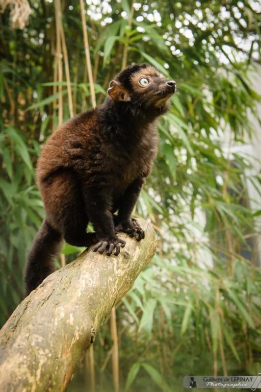 Lemurien-Dimbi-photographe-Guilhem-de-Lepinay-17