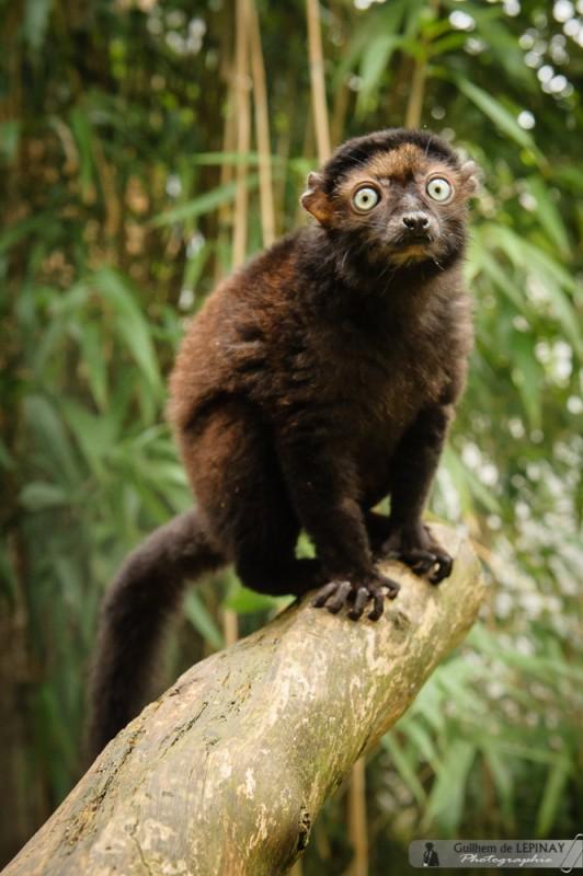 Lemurien-Dimbi-photographe-Guilhem-de-Lepinay-18
