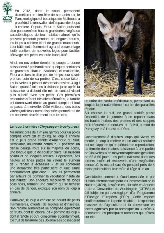Le loup à crinière (Chrysocyon brachyurus) Mesurant près de 1 m (au garrot) pour un poids compris entre 20 et 23 kg, le loup à crinière est le plus grand canidé d'Amérique du Sud. Semblable au renard commun, il possède un dense pelage roux sur la majorité du corps, une longue queue de couleur claire, un museau pointu et de longues oreilles. Cependant, ses hautes et fines pattes lui valent le surnom de « renard à échasses » et lui confèrent une démarche très particulière et une allure étonnamment gracieuse. Elles lui permettent par ailleurs de dominer la végétation haute de son habitat. Son encolure recouverte de longs poils noirs, formant une crinière qui se hérisse en cas de danger, explique son nom de loup à crinière.