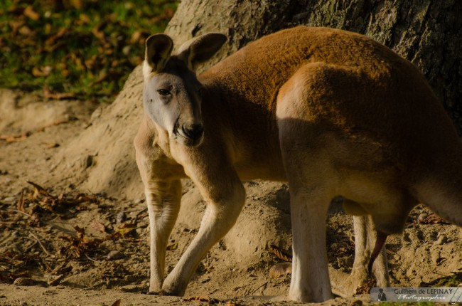 Zoo of mulhouse photo - Red Kangaroo