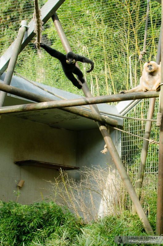 Zoo of mulhouse photo - Gibbon
