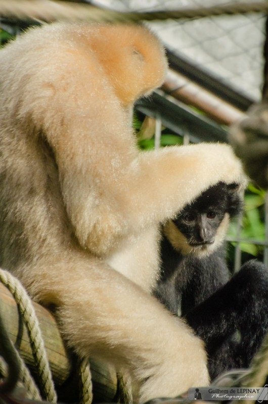 zoo de mulhouse photo - gibbon