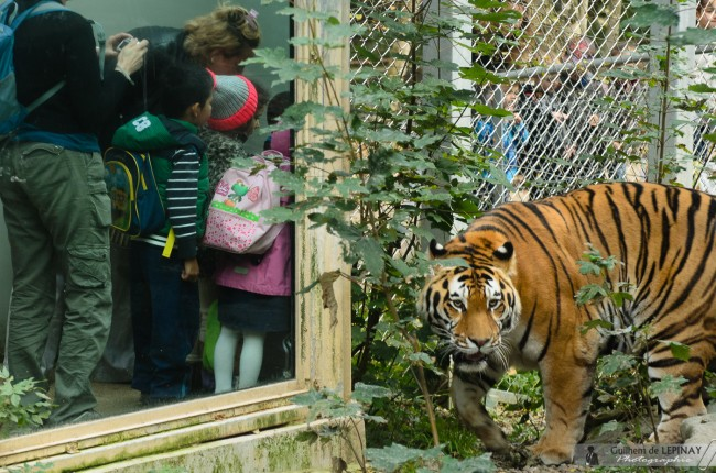 zoo de mulhouse photo - tigre