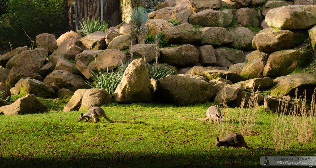 zoo de mulhouse photo - wallaby des rochers
