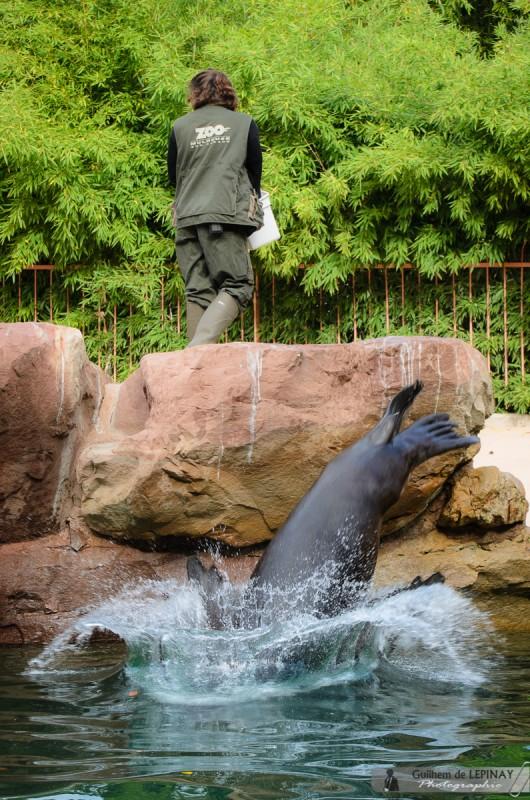 Zoo of mulhouse photo - sea lion