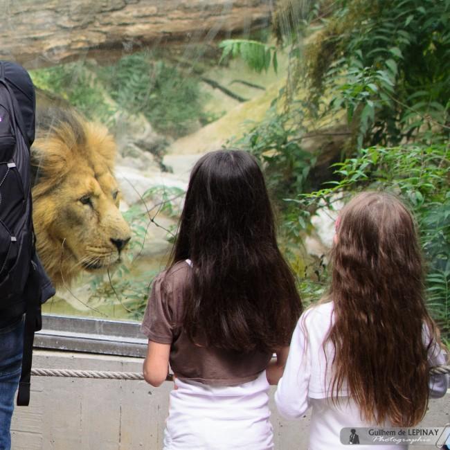 Zoo of mulhouse photo - Lion