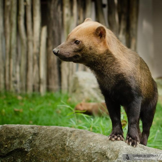 Zoo of mulhouse photo - the Bush Dog