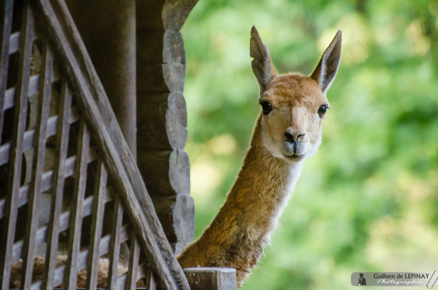 Zoo of mulhouse photo - vicuna