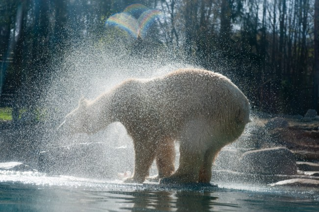 bear polar zoo of mulhouse