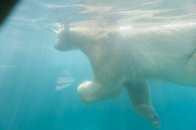 Eisbären schwimmen