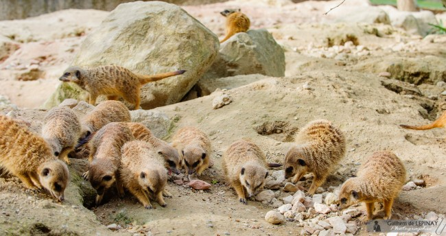 photos de bébés suricate