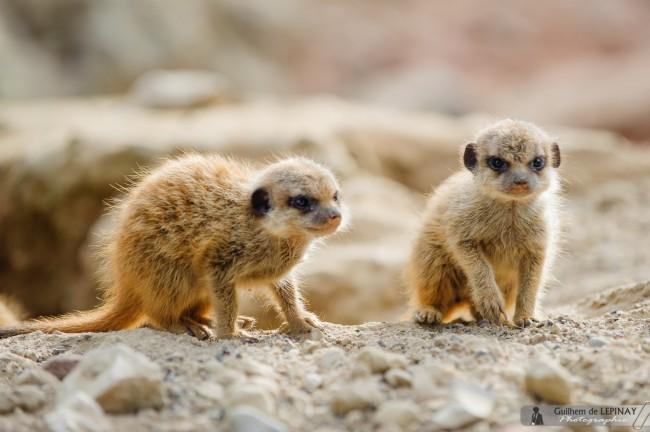 bébé-suricate-Zoo-Mulhouse-photographe-Guilhem-de-Lepinay-10