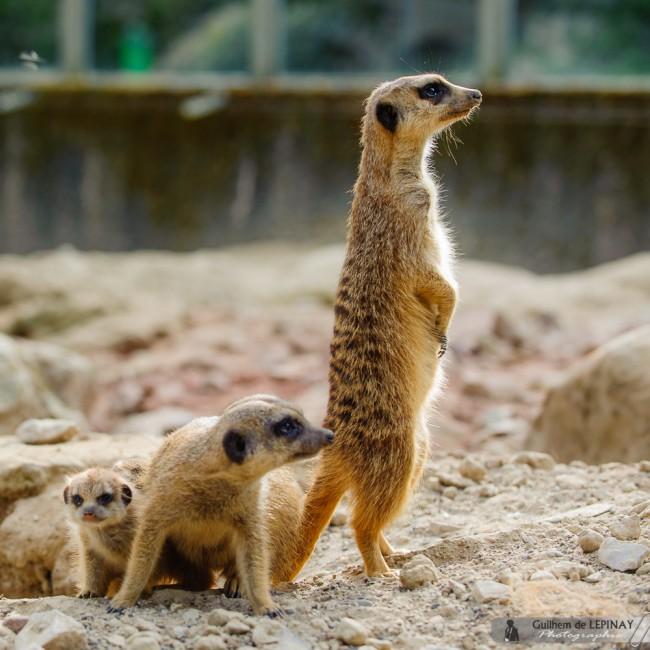 photos de b b s suricate au zoo de mulhouse photo guilhem de l pinay. Black Bedroom Furniture Sets. Home Design Ideas