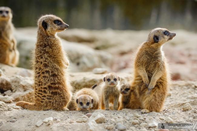 bébé-suricate-Zoo-Mulhouse-photographe-Guilhem-de-Lepinay-13