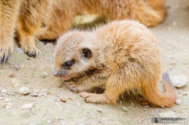 bébé-suricate-Zoo-Mulhouse-photographe-Guilhem-de-Lepinay-2