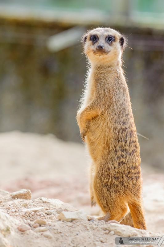 bébé-suricate-Zoo-Mulhouse-photographe-Guilhem-de-Lepinay-4