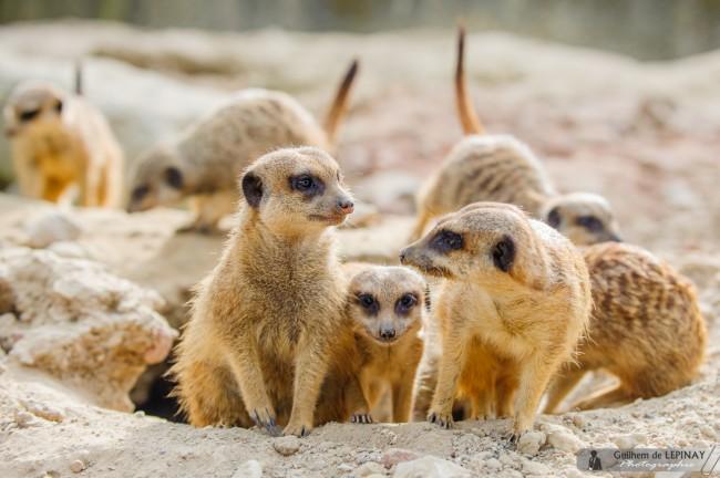 bébé-suricate-Zoo-Mulhouse-photographe-Guilhem-de-Lepinay-5