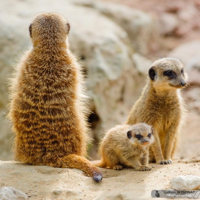 bébé-suricate-Zoo-Mulhouse-photographe-Guilhem-de-Lepinay-6