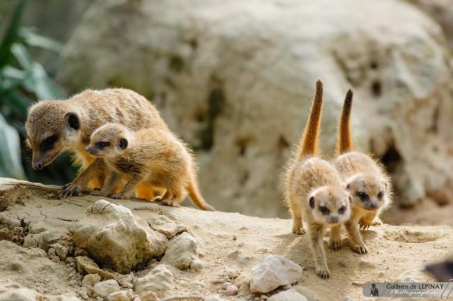 bébé-suricate-Zoo-Mulhouse-photographe-Guilhem-de-Lepinay-9