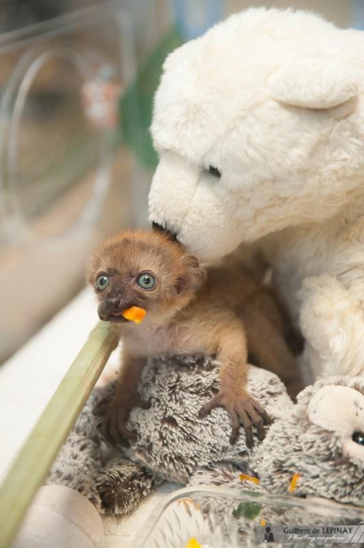 Olanna, die türkisfarbenen Augen lemur