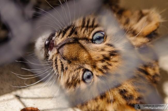 bébé panthère de l'amour du zoo de mulhouse